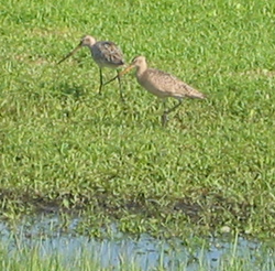 birds walking on the grass near fresh water